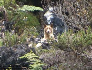 singing-dog-closeup